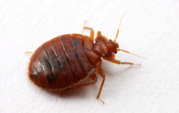 Наиболее опасными в эпидемиологическом отношении являются кровососущие синантропные насекомые, в частности постельные клопы (Cimex lectularius L). Постельные клопы - кровососущие бескрылые насекомые, относятся к домовым (гнездовым) паразитам подстерегающего типа.