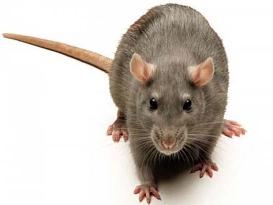 крысы уничтожение