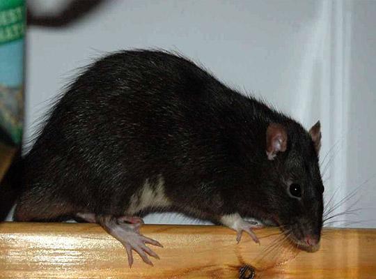 отрава от крыс ControRat