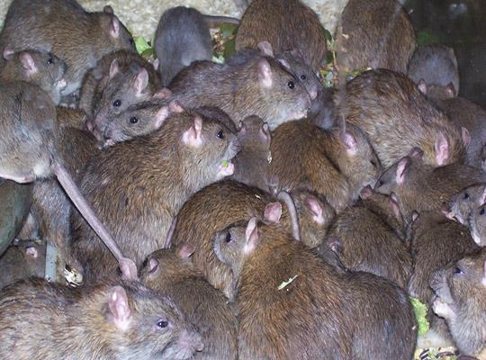 ControRat от крыс