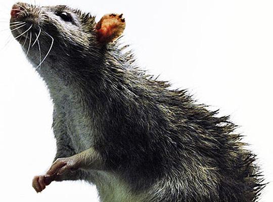 препарат для уничтожения крыс ControRat